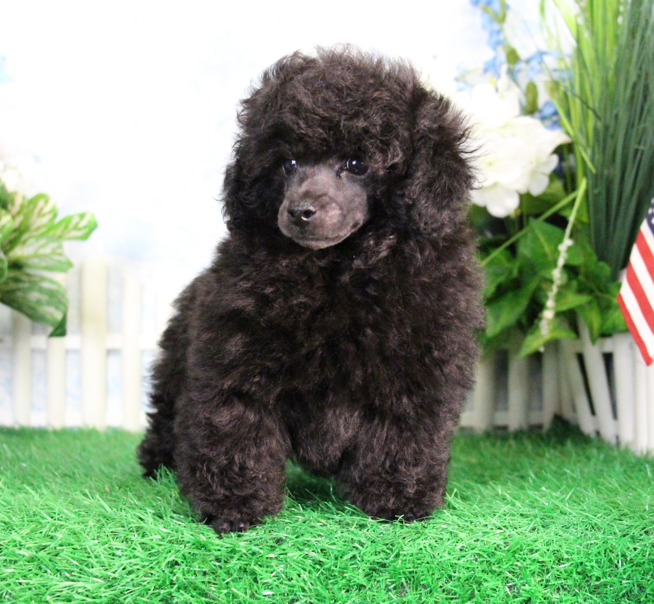 Picture of a dark brown toy poodle.